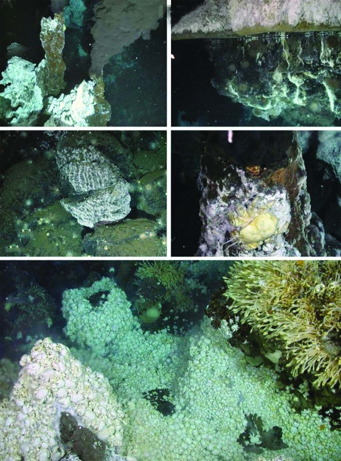 Antarctica a home to new sea anemone species