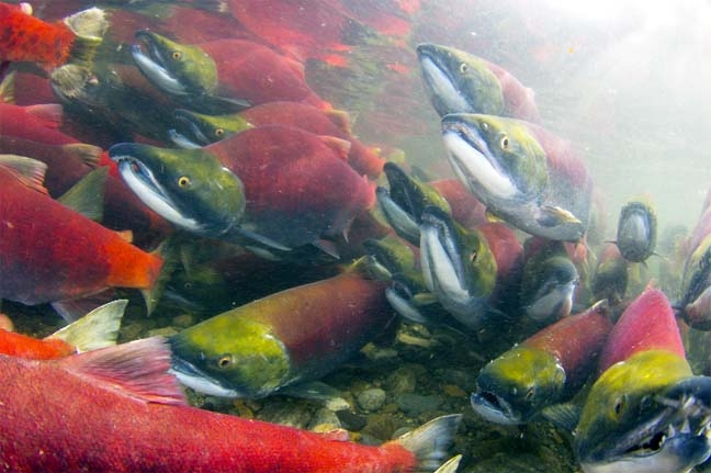 Salmon can detect earth's magnetic field