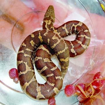 Python in grape box