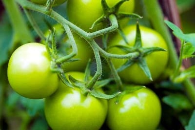 Green tomatoes help treat muscular atrophy