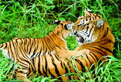 Existence of Royal Bengal Tiger in Sundarbans threatened