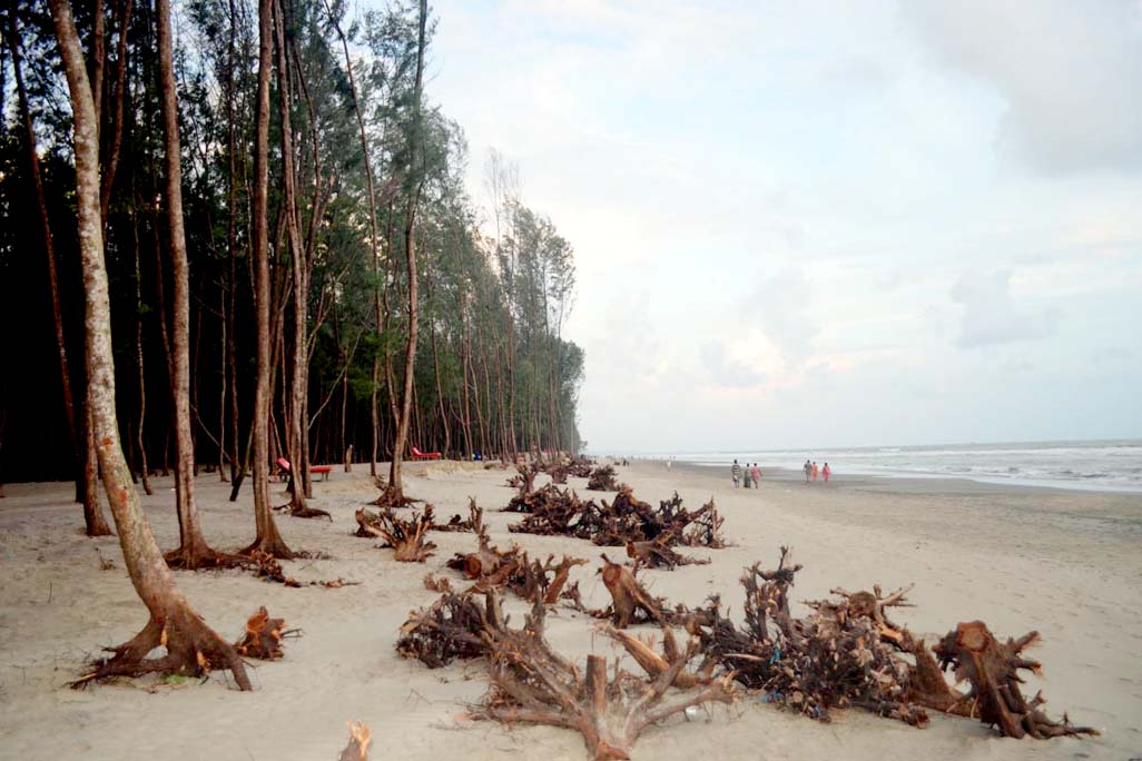 Jhou Trees Which Protect The S Bazar Sea Beach From Erosion And Other Natural Calamities Have Been Facing Extinction As Earth On Root Is