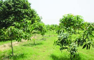 Mango inter-cropping gains momentum in Rajshahi