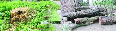 SREEBARDI (Sherpur): Trees cut down from roadsides by miscreants were  recovered from  Sreebardi Upazila on Monday.