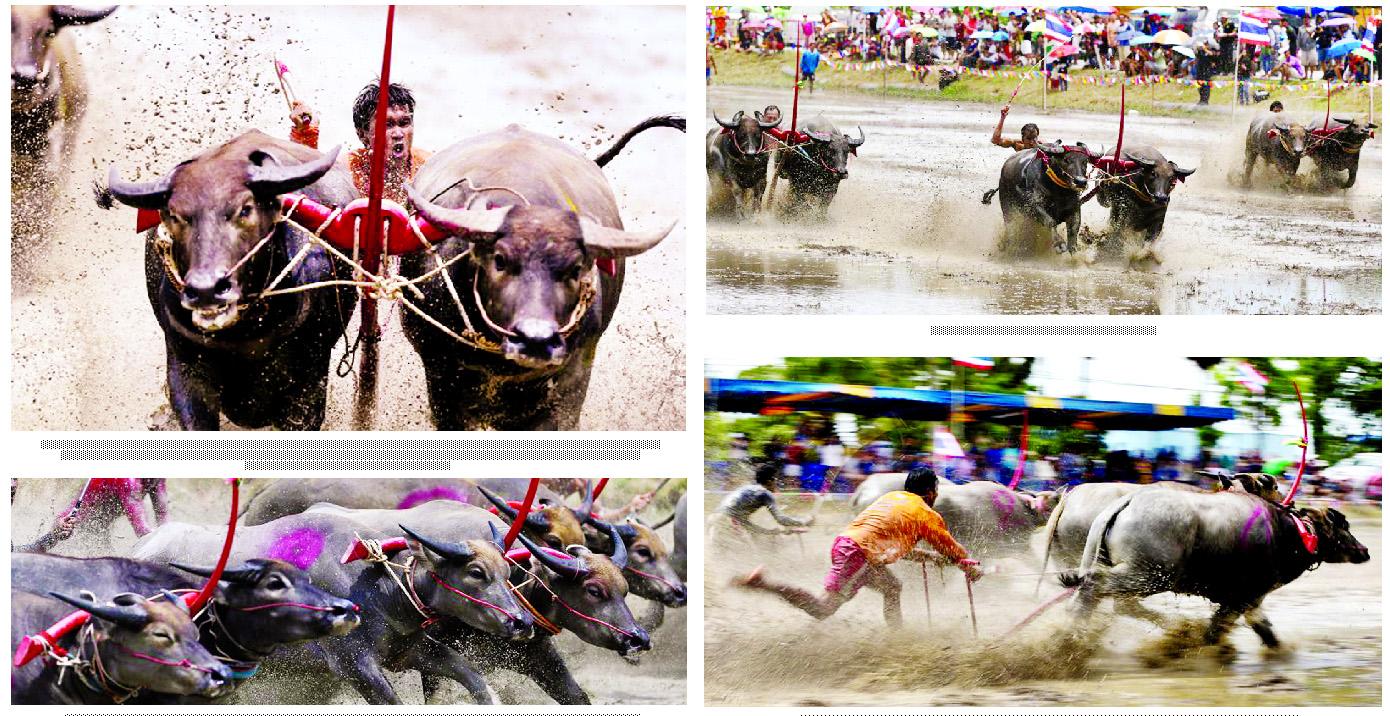 Thailand's annual buffalo  racing festival