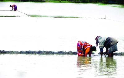 Heavy rain damages  Aman seedbeds in Dakop,  farmers in great despair