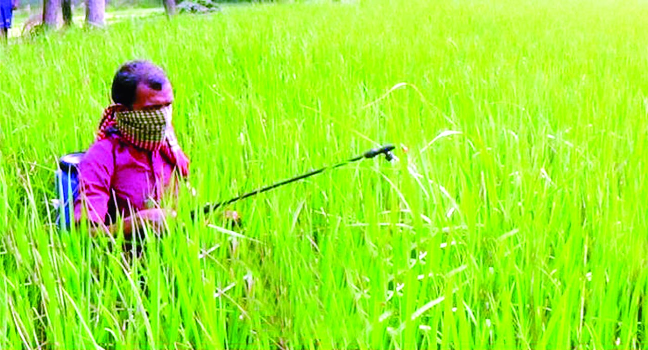 MYMENSINGH: T- Aman paddy field has been  damaged due to  pest attack at Ghagra Union in  Sadar Upazila . This picture was taken on Thursday.