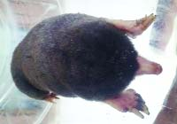 Rare Himalayan Mole rescued, released in Lawacherra Forest