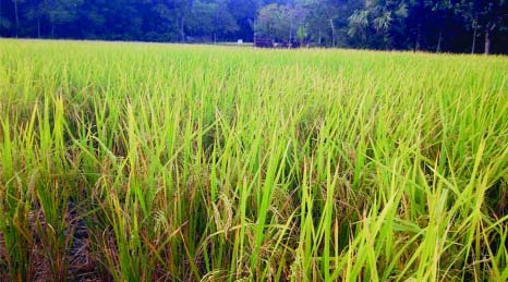 NARAIL: A view of  BRI-72 paddy field at Roghunathpur Village in Sadar Upazila .