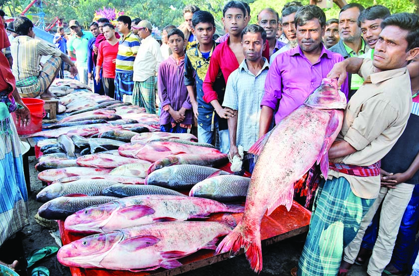 BOGRA: Fish traders are passing busy time in showing big fishes to attract buyers at the traditional hundreds years old Fish Fair marking the Nabanna festival  at  Utholi area in Shibganj Upazila on Saturday.