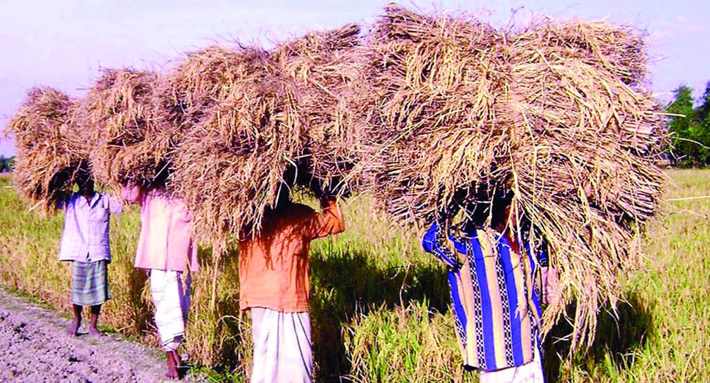 T-Aman production exceeds target in Rangpur Agri Zone