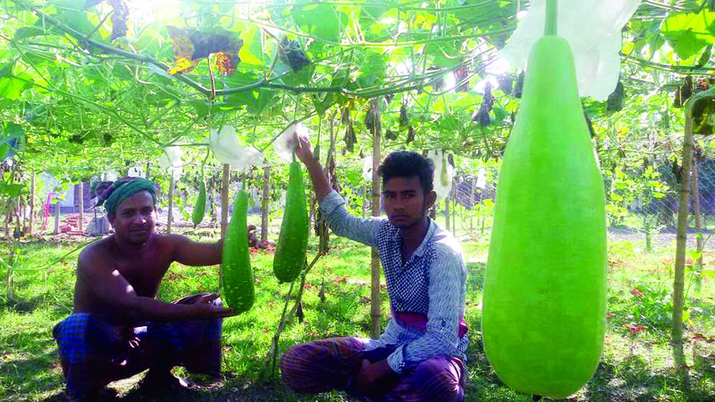 Bottle Gourd cultivation changes  fortune of  300 people in Gafargaon