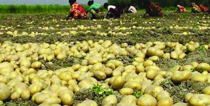 Bumper potato production likely in Jamalpur