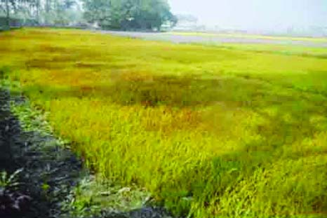 SUNDARGANJ ( Gaibandha):  Boro seedbeds at Sundarganj Upazila  have been damaged due to  dense fog and cold wave. This snap was taken from Sarbonanda Union yesterday.