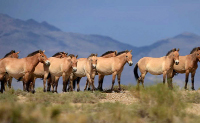 World's last remaining wild horses aren't really wild after all