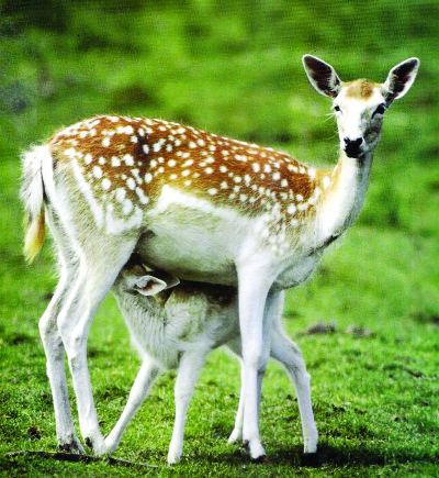 Poachers active in hunting deer from Sundarbans