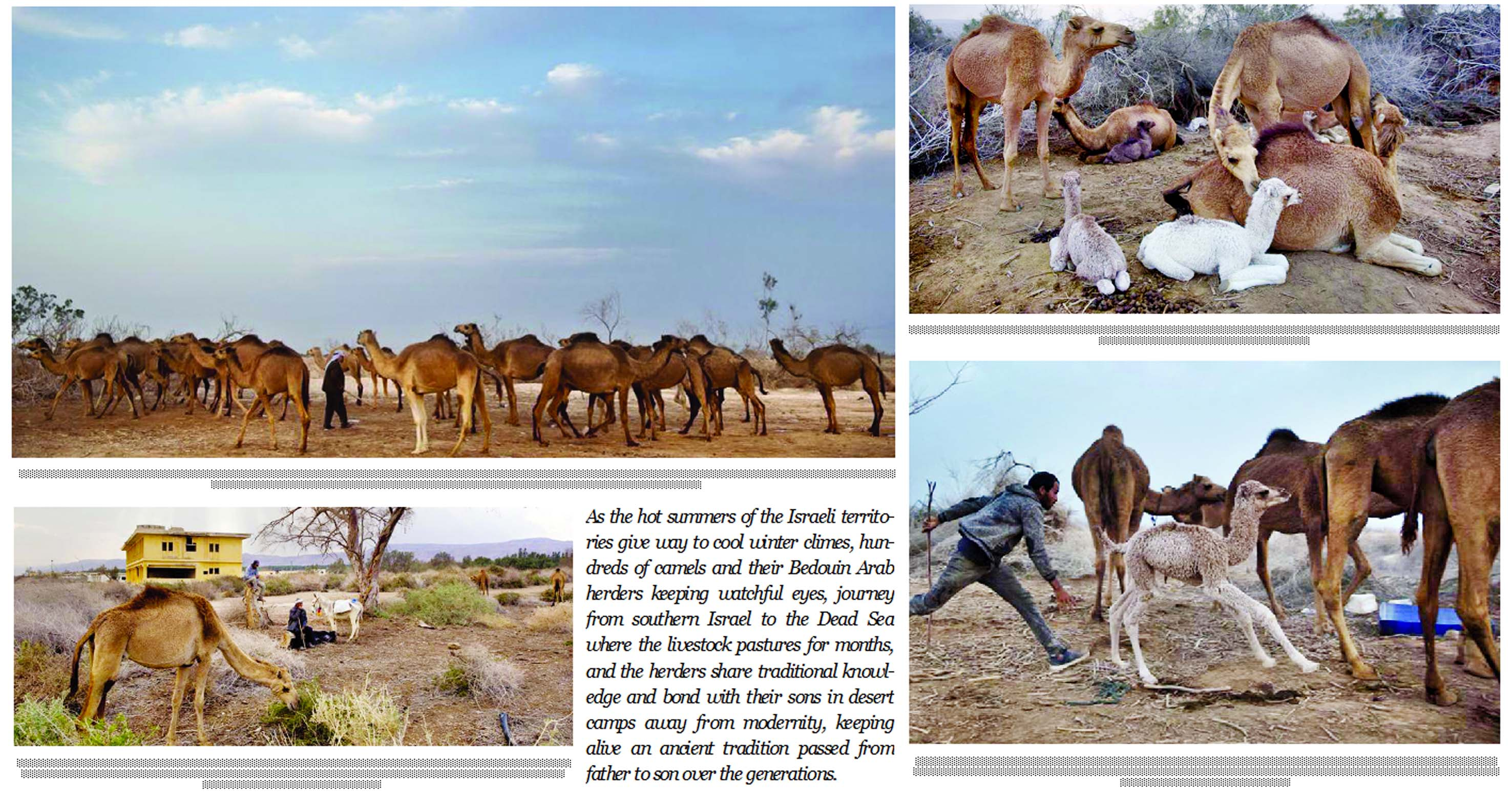 By the Dead Sea, Bedouin graze camels at Earth's lowest place
