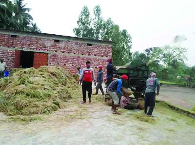 RANINAGAR (Naogaon): Boro- Irri Paddy harvest  going on full swing at Raninagar Upazila. This snap was taken yesterday.