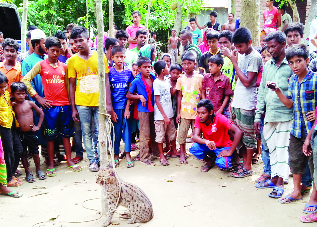 MODHUKHALI ( Faridpur): A fish eating tiger was caught by villagers at Bagat Union in Modhukhali Upazila on Thursday.