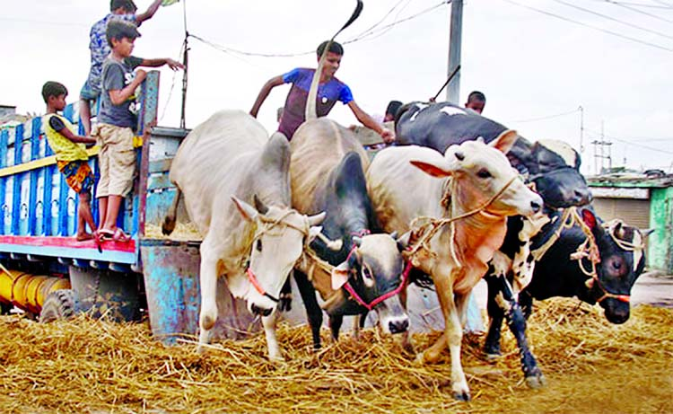 Livestock farmers busy in nurturing cattle ahead of Eid