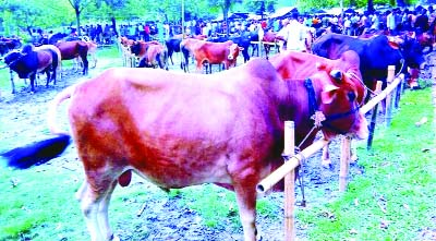 RANGPUR: Huge supply of locally reared cattle  in a rural  market as sale of sacrificial animals is gaining momentum in all districts under Rangpur Division from yesterday.