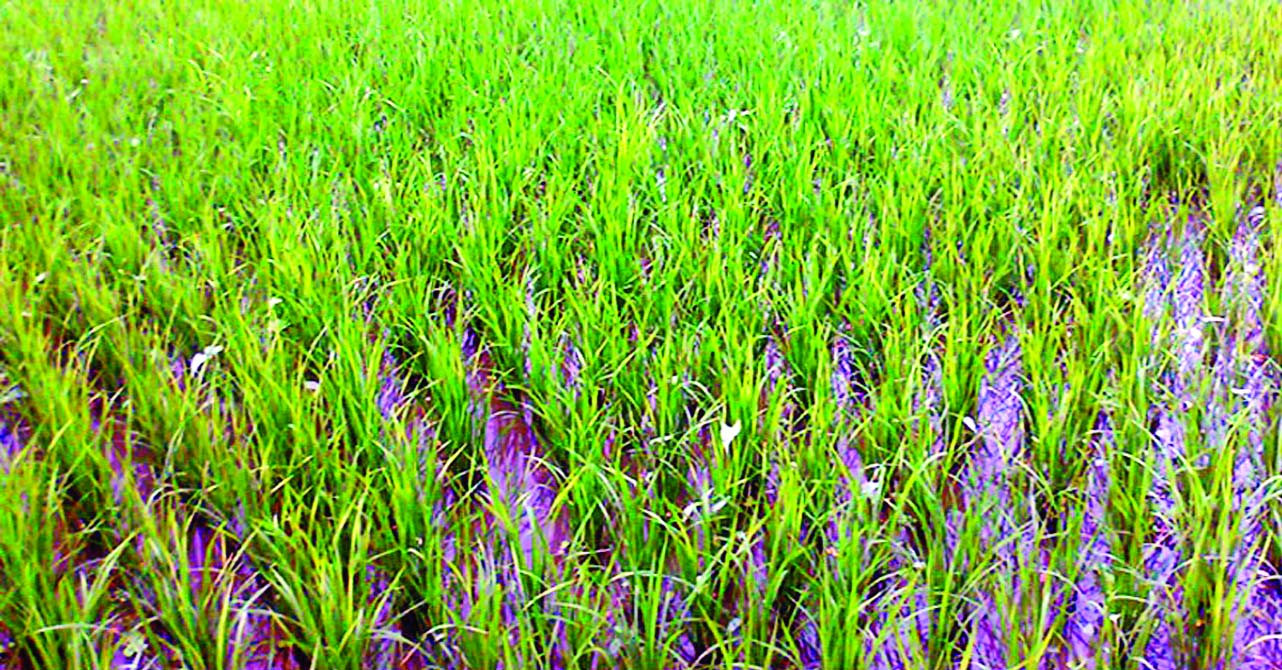 RANGPUR: Tender plants of Transplant Aman paddy growing well in a field at Sadar Upazila. This snap was taken on Tuesday.