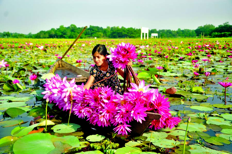 A girl delighted with the beauty of Lilly and Lotus flowers plucking the flowers. The snap was taken from Lauail Beel of Daudpur Union in Rupganj on Monday.