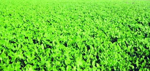 Farmers to produce 86,000 tonnes mustard in Rangpur Division