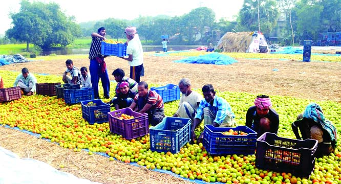 RAJSHAHI: Farmers  passing busy time in packing tomatoes at Godabori Upazila to send them different places of the country as  bumper production of the product has  been achieved this season. This picture was snapped on Sunday.