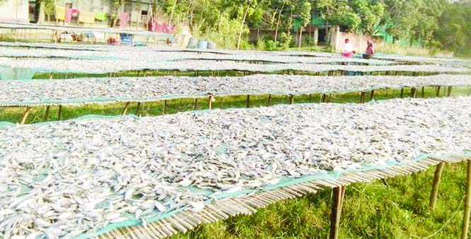 PABNA: Fishermen at Sathiya Upazila passing busy time in dry fish processing work. This snap was taken on Wednesday.