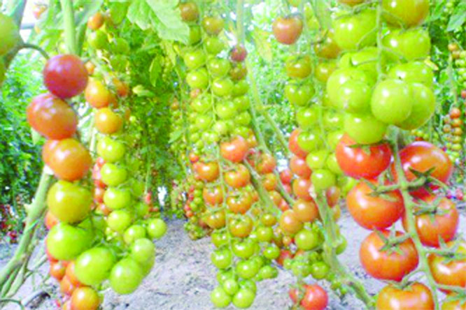Tomato cultivation acts as money-spinner in  Rajshahi Barind tract