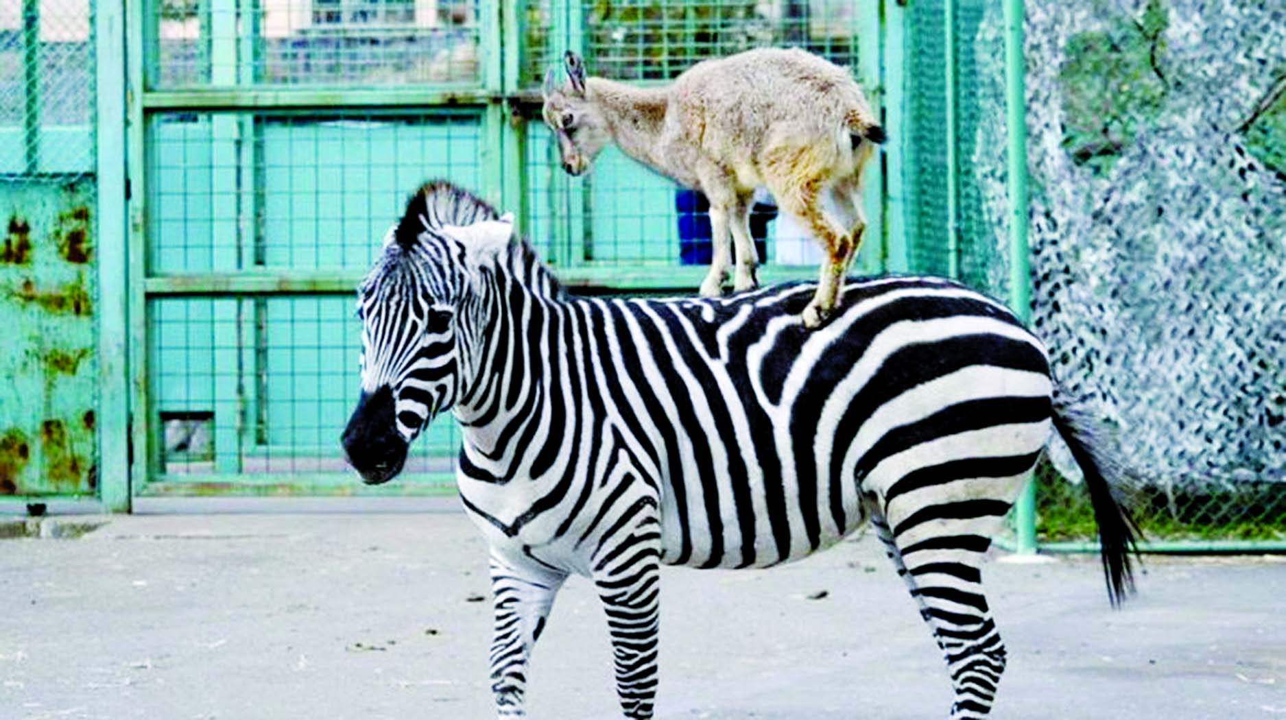 Goat getting on zebra's back going to Bremen Town?
