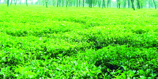 'Made-tea' worth Tk 204 cr produced in Kartoa Valley