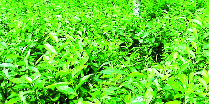 Tea producton increase up by 57pc in northern districts