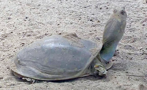 'Extinct' Galapagos tortoise found after 100 years