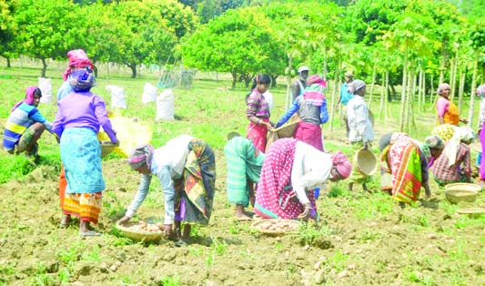 RAJSHAHI: Farmers passing busy time in potato harvest in Rajshahi as the district has achieved bumper production of the product. This snap was taken from Damkura area on Sunday.