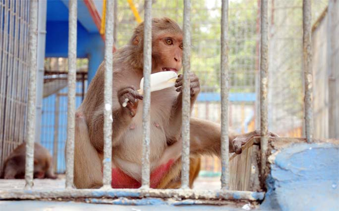 A monkey eating ice-cream at Chattogram Zoo to get ease from  excess hot temperature. This snap was taken yesterday.