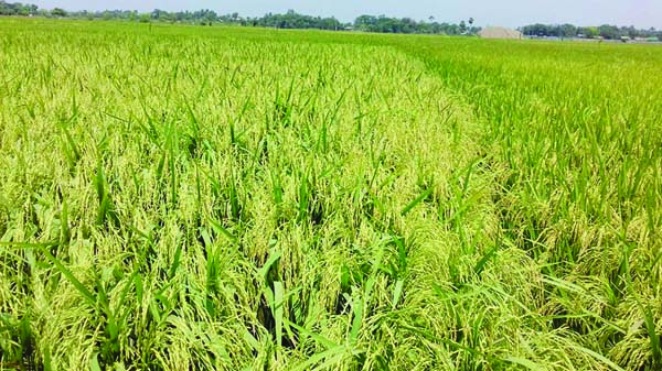 Bumper Boro paddy output expected in Dupchanchia