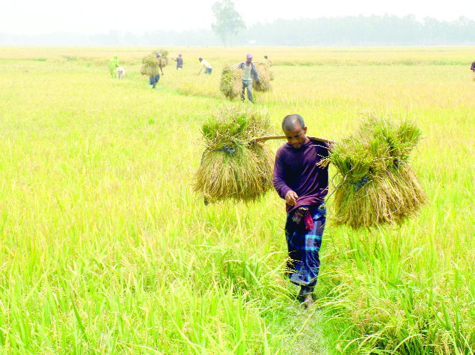 Labour crisis hits  Boro paddy harvesting in Fulbari