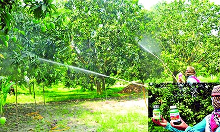 Poisonous chemicals are being sprayed at the mangoes in trees for early state of the fruit to get more profits. This photo was taken on Tuesday from Charghat upazila in Rajshahi district.