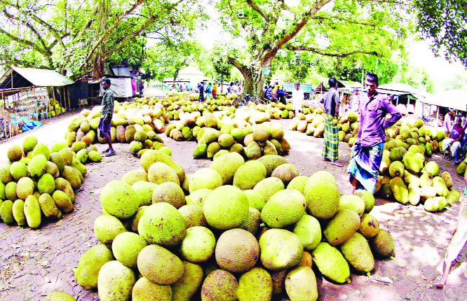 Bumper jackfruit production likely in Narsingdi