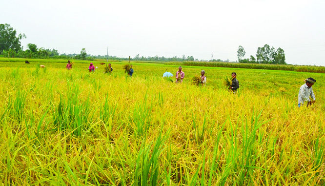 DINAJPUR: Both men and women labourers  at Dinajpur passing busy time in Boro paddy harvest. This snap was taken on Saturday.