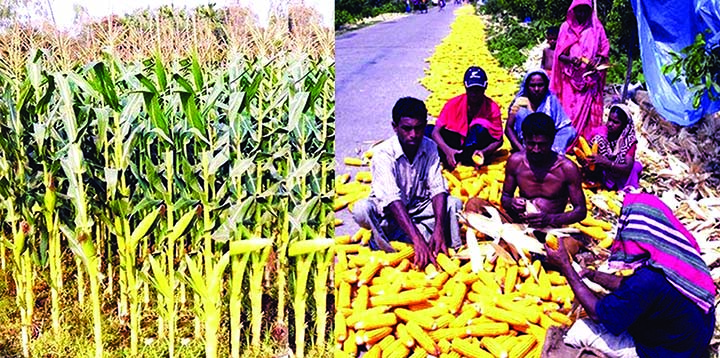 RANGPUR:  The farmers produced a record quantity of over 9.23-lakh tonnes of maize exceeding the fixed production target by 21.76 percent during the just-ended Rabi season in Rangpur Agriculture Region.