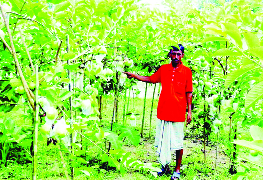 NARSINGDI: Farmer Abul Kalam of Char Morjal Village in Raipur Upazila showing guavas of his garden which predicts bumper production of the seasonal fruit.