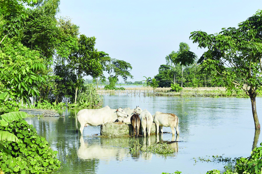 JAMALPUR: Cattle  are standing  in flooded Melandah Upazila  and seen eating  tree leaves  as  there is no place to  live . This snap was taken from 5 No Char area  yesterday.
