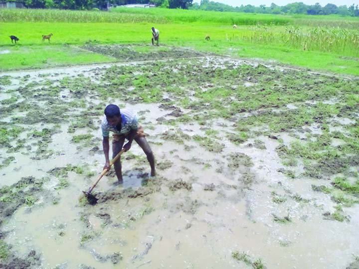 20.14 lakh tonnes Aman paddy  production expected in Rajshahi