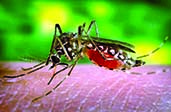 Dengue threat may prolong