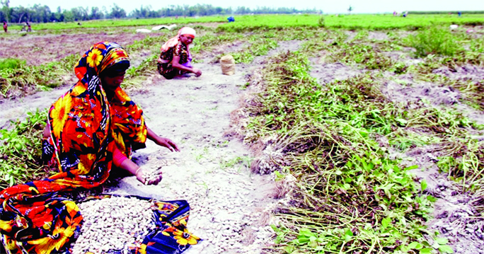 19,461 tonnes groundnut  produced in Rangpur region
