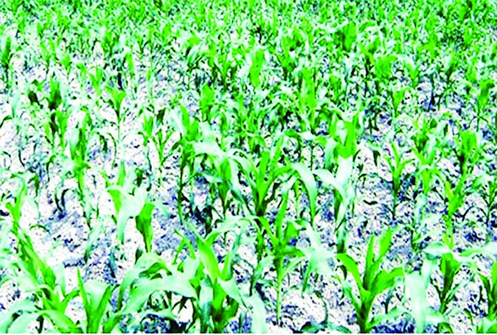 9.65 lakh tonnes of maize production target fixed for Rangpur region