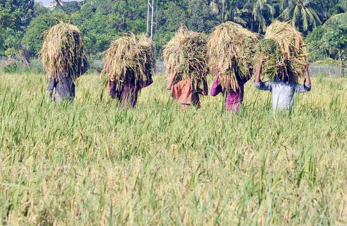 Farmers at Halisahar passing busy time in Boro Paddy harvest . This snap was taken from Anandabazar area on Monday.